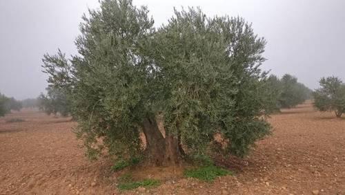 imagen 3 de Venta de olivar en Madridejos (Toledo)