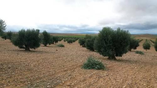 imagen 2 de Venta de olivar ecológico de regadío en Toledo