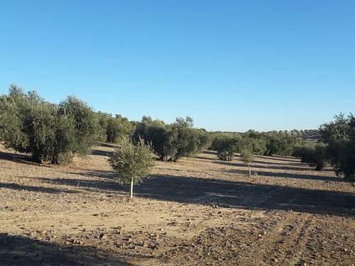 imagen 1 de Venta de olivar en Cebolla (Toledo)