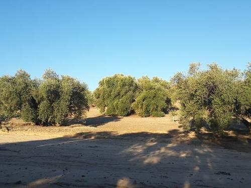 imagen 4 de Venta de olivar en Cebolla (Toledo)