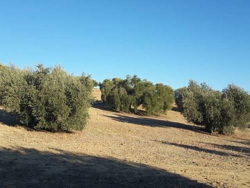 imagen 3 de Venta de olivar en Cebolla (Toledo)