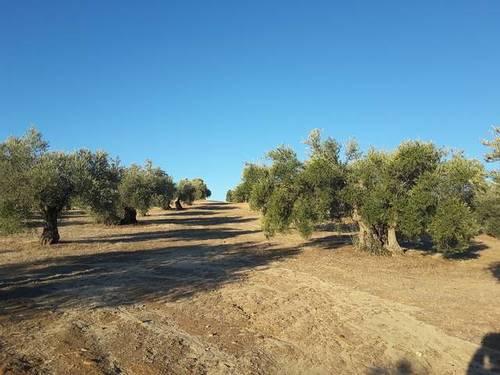 imagen 2 de Venta de olivar en Cebolla (Toledo)
