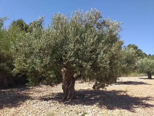 imagen 1 de Venta de viñedo en Cheste (Valencia)