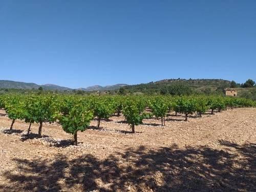 imagen 2 de Venta de viñedo en Cheste (Valencia)
