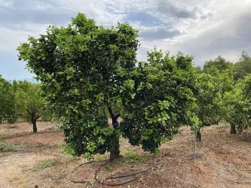 imagen 1 de Venta de finca de naranjos en Serra (Valencia)