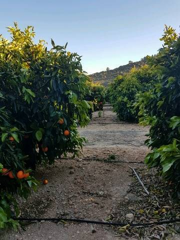 imagen 1 de Venta de finca de naranjos en Montserrat (Valencia)