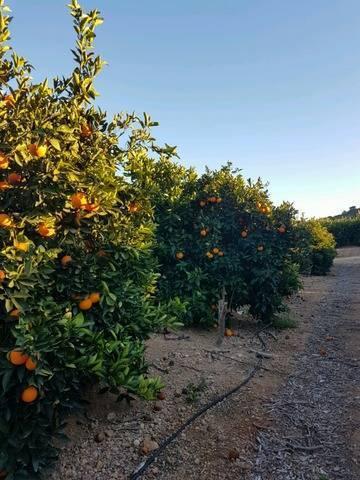 imagen 3 de Venta de finca de naranjos en Montserrat (Valencia)