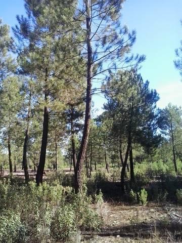 imagen 1 de Venta de pinar resinero y piñonero en Torrescarcela (Valladolid)