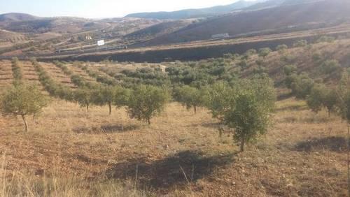 imagen 2 de Venta de olivar en Morata de Jalón (Zaragoza)