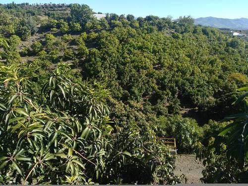 imagen 1 de FINCAS AGUACATES EN COSTA TROPICAL MÁLAGA-GRANADA