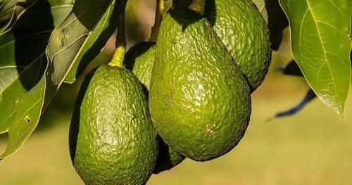 imagen 1 de FINCA DE AGUACATES ALBUÑOL - COSTA TROPICAL