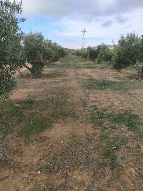 imagen 2 de Venta e finca olivar y calma riego en Dehesas de Guadix