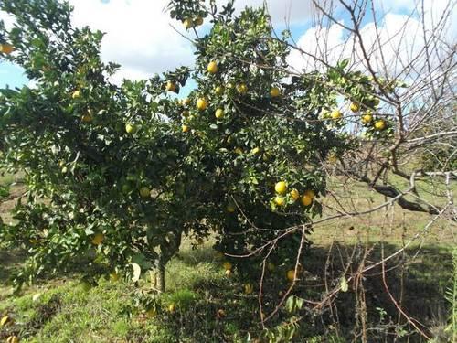 imagen 2 de Venta de finca de olivos en Rociana del Condado (Huelva)