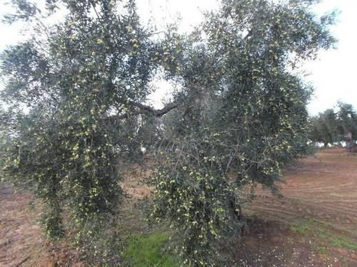 imagen 3 de Venta de finca de olivos en Rociana del Condado (Huelva)