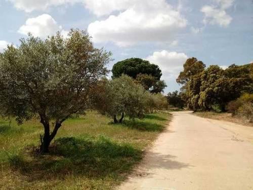 imagen 2 de Venta de finca de olivos en Hinojos (Huelva)