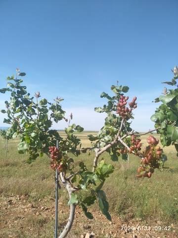 imagen 1 de Venta de finca pistachos en ecológico