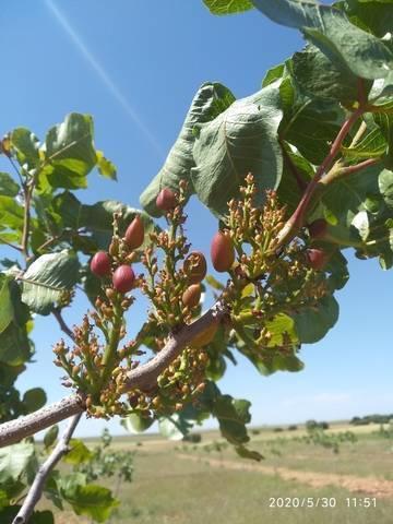 imagen 2 de Venta de finca pistachos en ecológico