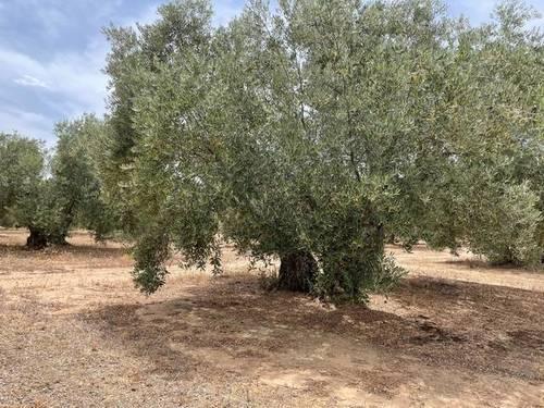 imagen 1 de Venta de olivar en Linares Baeza (Jaén)