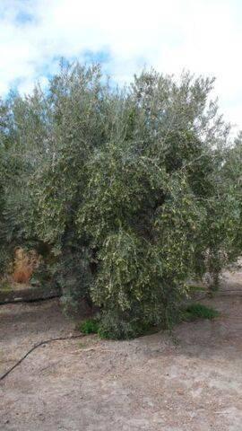 imagen 1 de Venta de finca de olivos en Almería