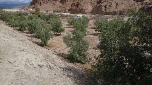 imagen 2 de Venta de finca de olivos en Almería