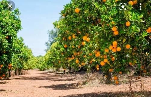imagen 1 de Venta de finca de naranjos en Xeraco